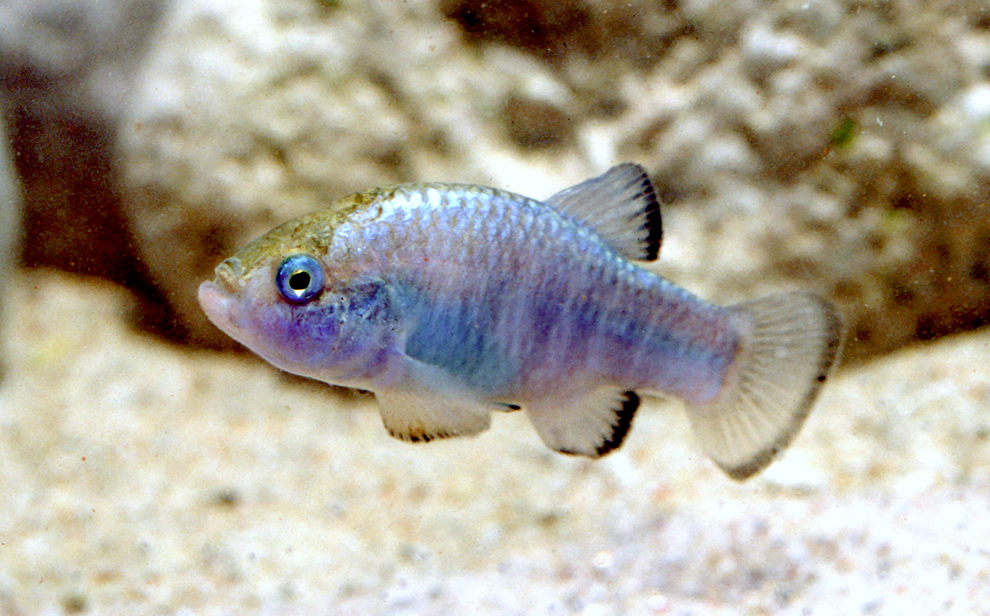 Amargosa pupfish from Death Valley region